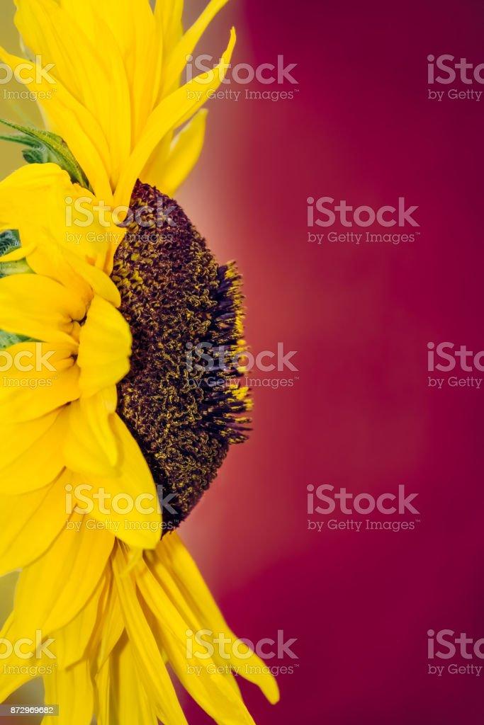Close up of a large beautiful yellow sunflower head stock photo