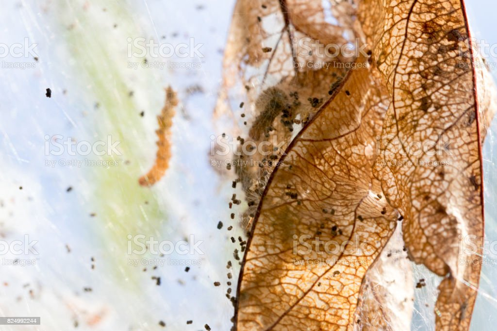close up of a leaf skeleton draped in caterpillar silk stock photo