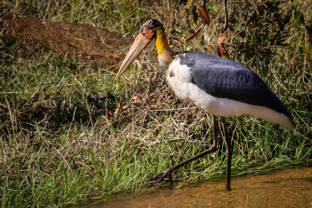 Close up of a Lesser adjutant searching for prey Bandhavgarh National Park, India adjutant stock pictures, royalty-free photos & images