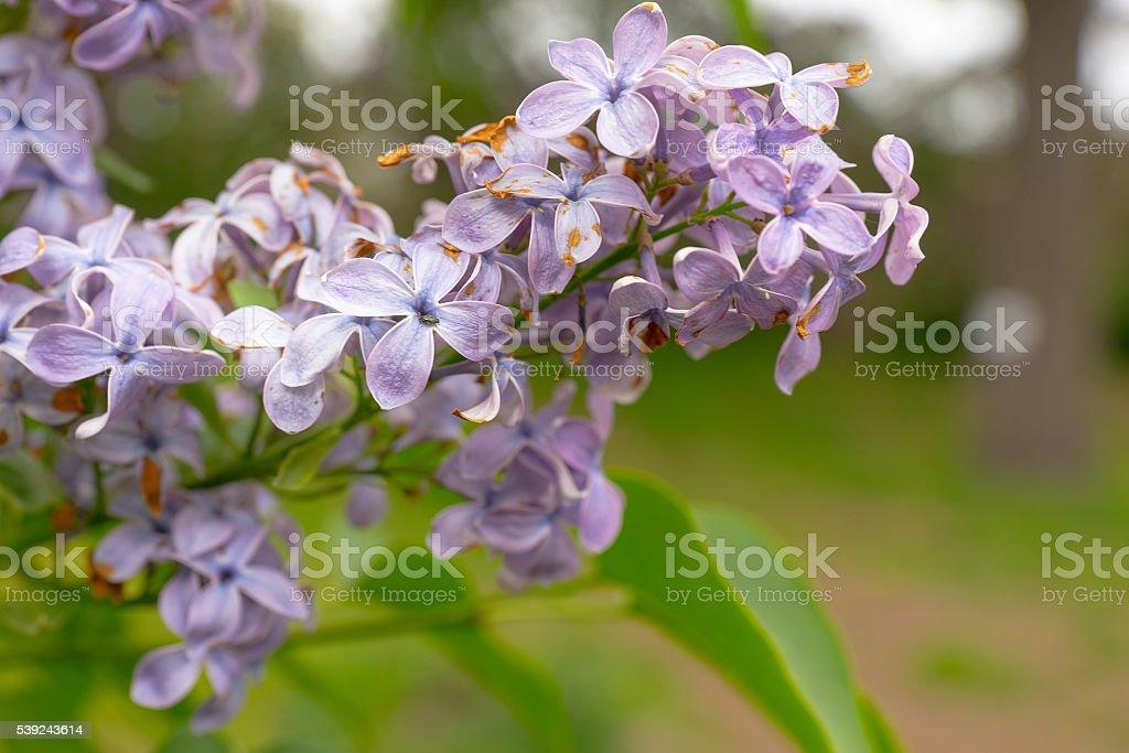 Acercamiento de un semáforo lila común de flores foto de stock libre de derechos