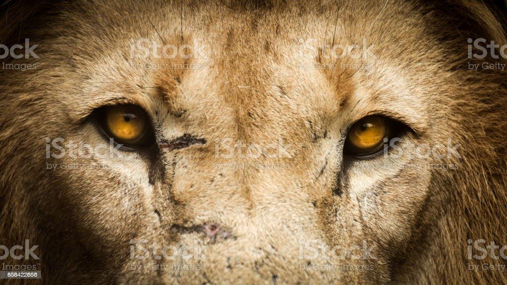 Düz ön oynadığı bir aslan yakın çekim stok fotoğrafı