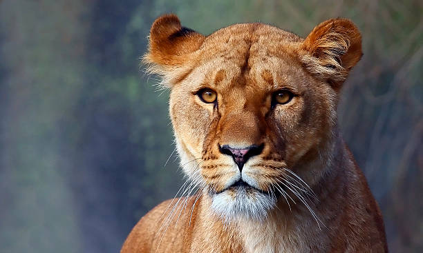 close up of a lionesses watchful face - lioness stock photos and pictures