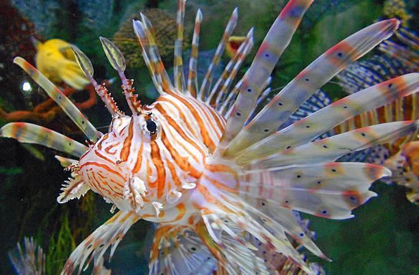 Nahaufnahme von einem Rotfeuerfisch – Foto