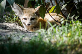 istock Close up of a little Fennec fox resting in the grass in a ray of light. (Vulpes zerda). Wild life animal. 1220768616