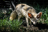 istock Close up of a little Fennec fox resting in the grass in a ray of light. (Vulpes zerda). Wild life animal. 1220768660