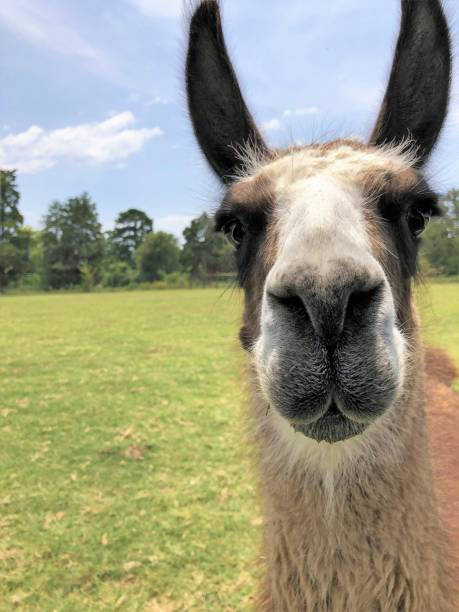 close up of a llama face stock photo
