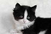 close up of a long hair tuxedo Norwegian forest cat kitten