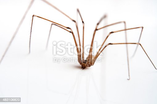 A Macro Photograph Of A Daddy Long Legs Or Cellar Spider On A White Background