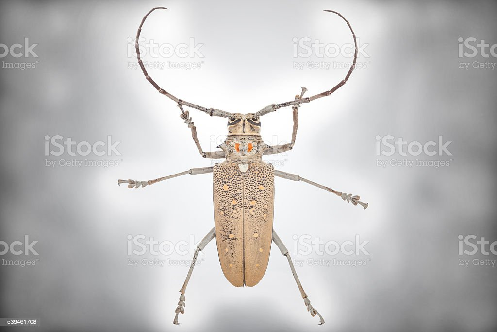 Close up of a Longhorn beetle ( Coleoptera-Cerambycidae ) stock photo