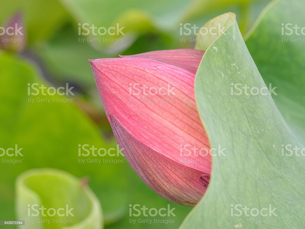 Close Up Of A Lotus Flower Bud Among Leaves Stock Photo More