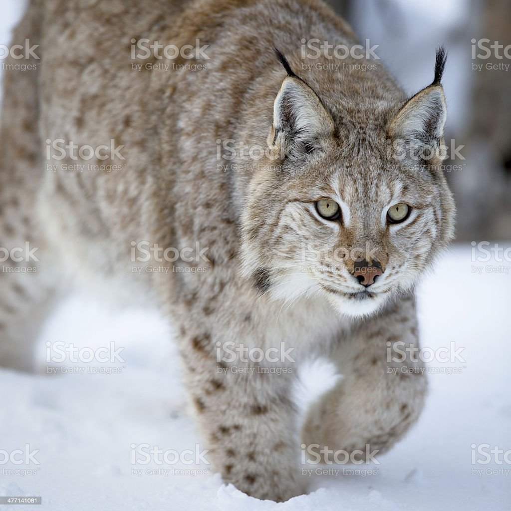 Close up of a lynx sneaking stock photo