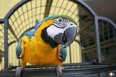 Bird parrot of the parrots in Brazil, very social with human beings.