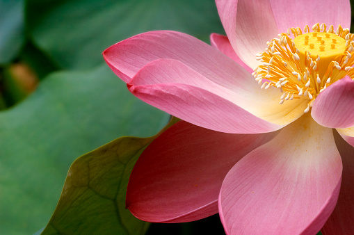 Pink lotus flower in full bloom. Shallow DOF, focus on center of flower. Green lotus leaves.More water lilies and lotus flowers in my Nature Lightbox.
