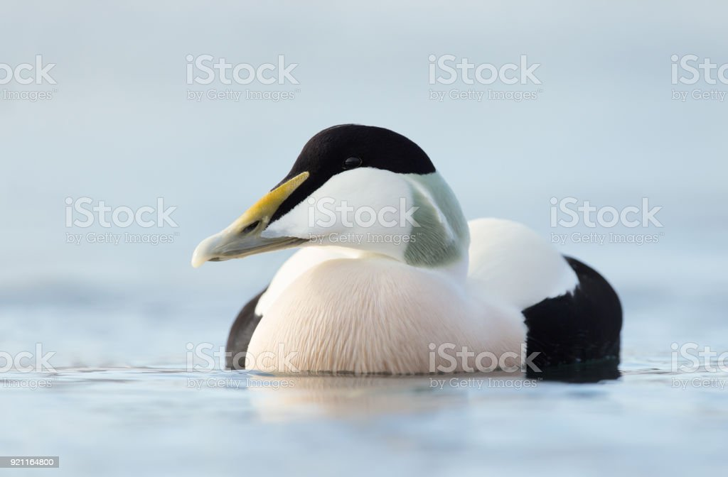 Close up of a male common eider, Norway. stock photo