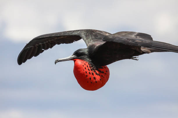 Close up of a male Magnificent frigatebird in flight with red inflated pouch – Foto
