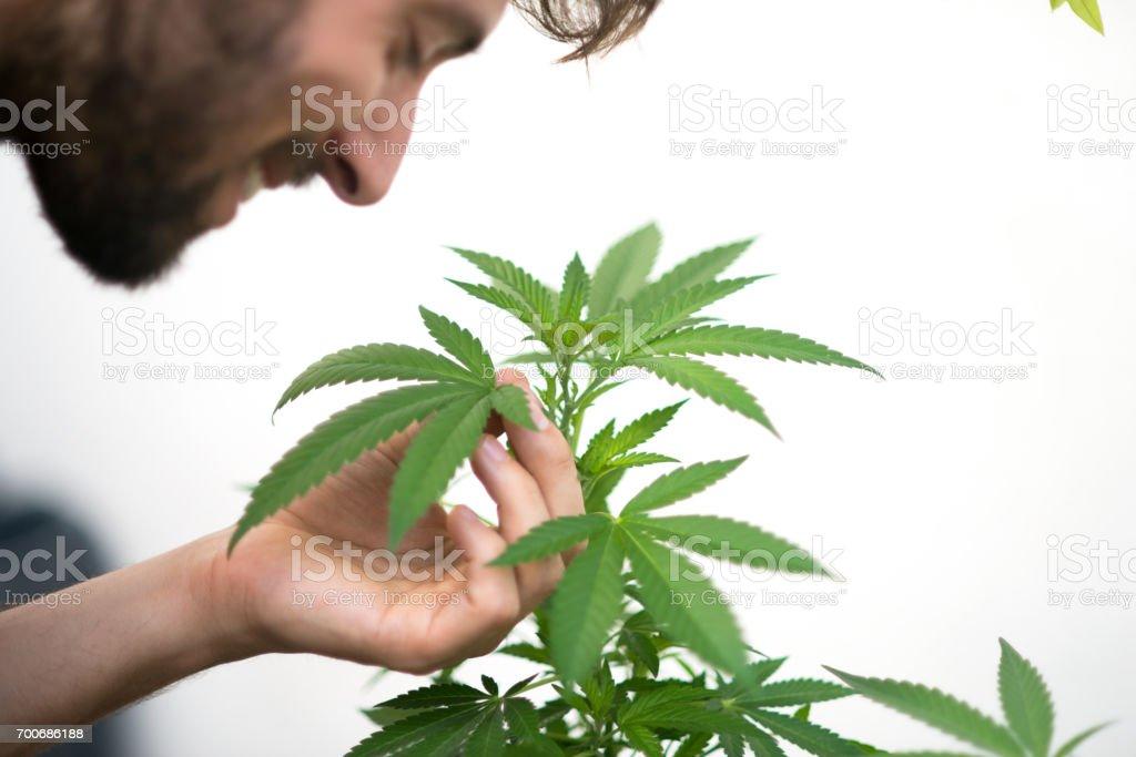 Close up of a man smelling marijuana plant.