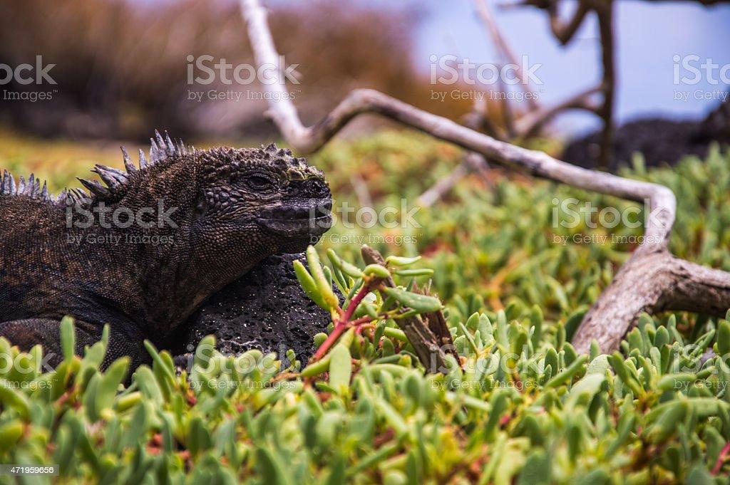 Close up of a marine iguana with blurry background stock photo