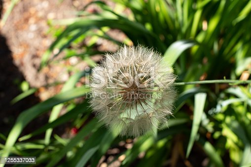 istock Close up of a meadow salsify, Tragopogon pratensis or Wiesen Bocksbart 1255337033