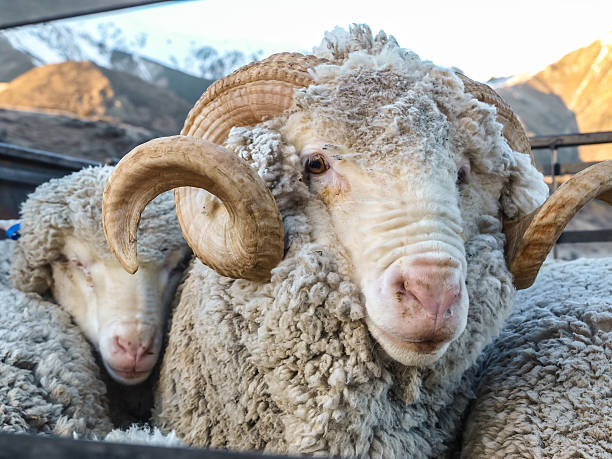 Close up of a Merino Ram Close up of a Merino Ram in the South island of New Zealand merino sheep stock pictures, royalty-free photos & images