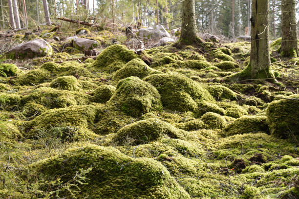 Close up of a mossy forest ground stock photo