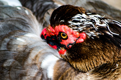 istock Close up of a muscovy duck head 988031322