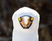 Close up of a Nazca booby (Sula granti) looking directly at the cameraon Genovesa Island, Galapagos Islands, Ecuador