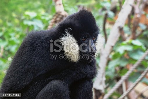close up of a northern white cheeked gibbon monkey