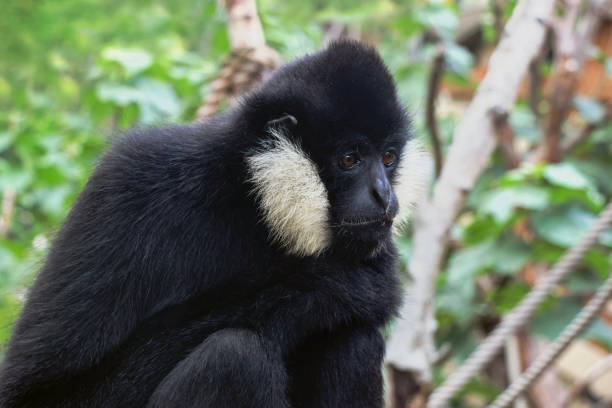 Nahaufnahme eines nördlichen weißen Wangen-Gibbon-Affen – Foto