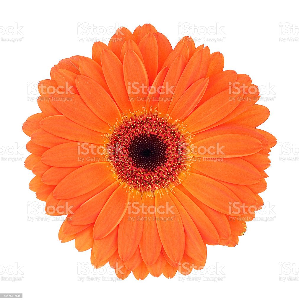 Close up of a orange gerbera flower royalty-free stock photo