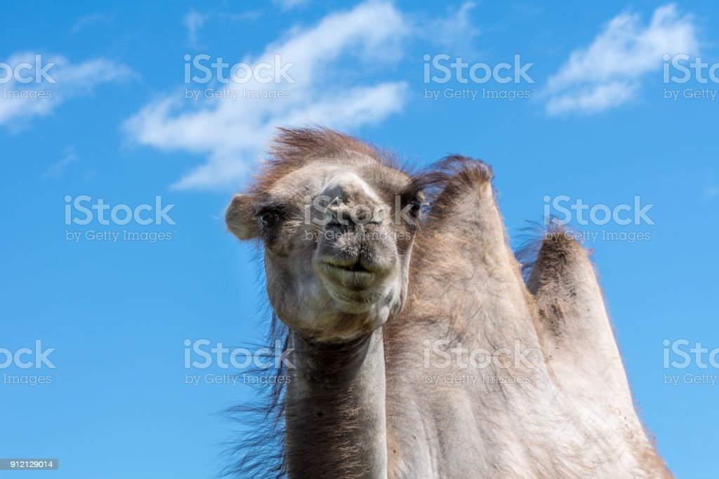 Close up of a pale brown camel against a clear blue sky stock photo