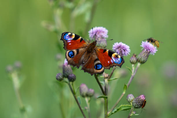 Close up of a peacock butterfly in summer sunlight picture id1194285589?b=1&k=6&m=1194285589&s=612x612&w=0&h=uluwb9lfx797ytmmifwraf5vqaqtldkddyp1t7u3qyc=