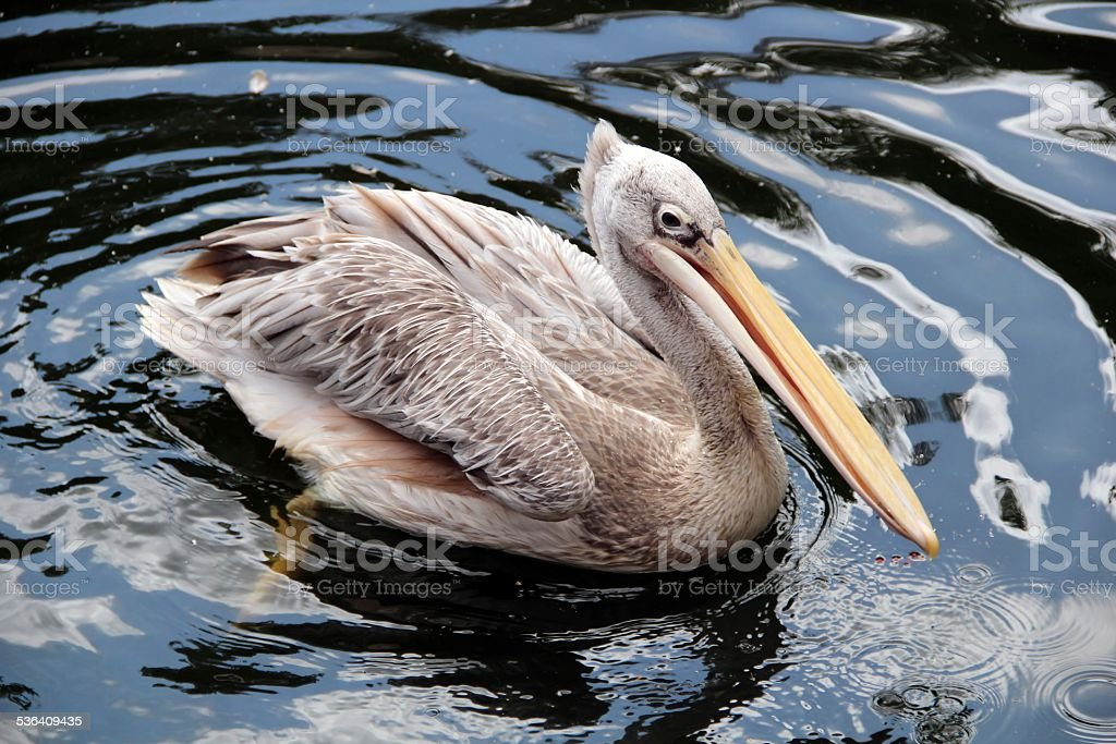 Close up of a Pelican sitting on the ground stock photo