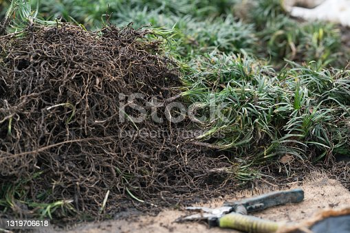 Close up of a pile of Mondo grass for taking cuttings and replanting. When thinned and replanted this ornamental grass will grow to form an attractive ground cover. A group of neighbours is replanting a garden bed on the shared driveway to their properties.