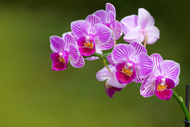 a close up of a pink orchid with water drops - orchidea foto e immagini stock