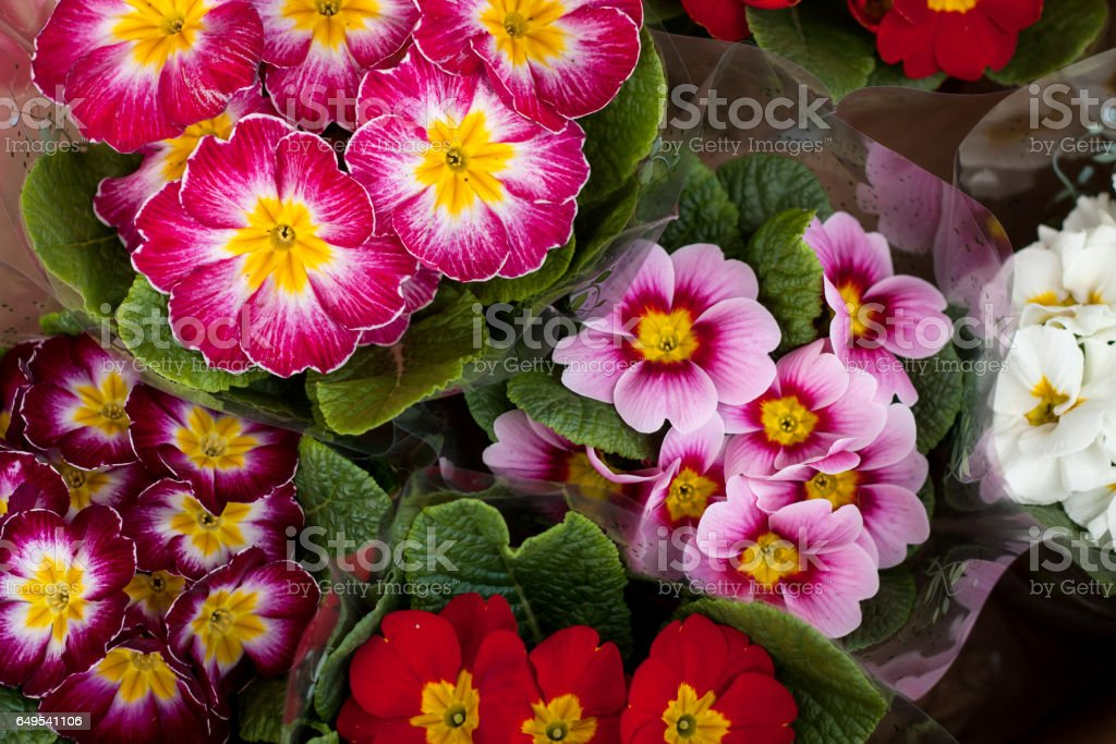 Close up of a pink primula flower stock photo