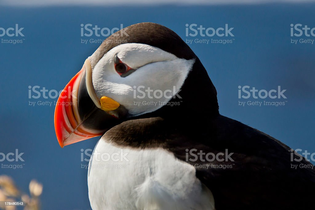 Close up of a puffin stock photo