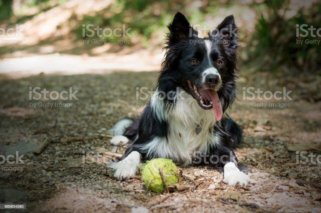 關閉一隻邊境牧羊犬放寬與球在樹林裡的小狗 免版稅 stock photo