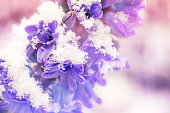 Close up of a purple hyacinth in the snow, spring concept