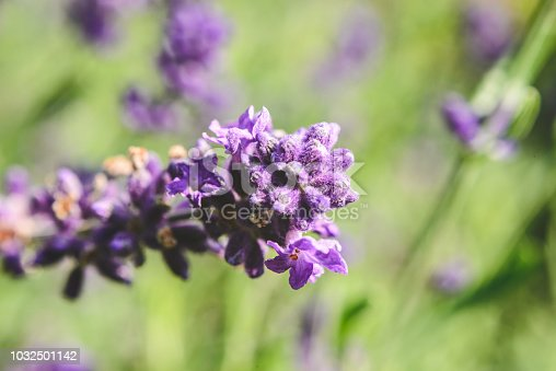 Beautiful purple lavender on a long stem. Close up view, beautiful green bokeh in the background.