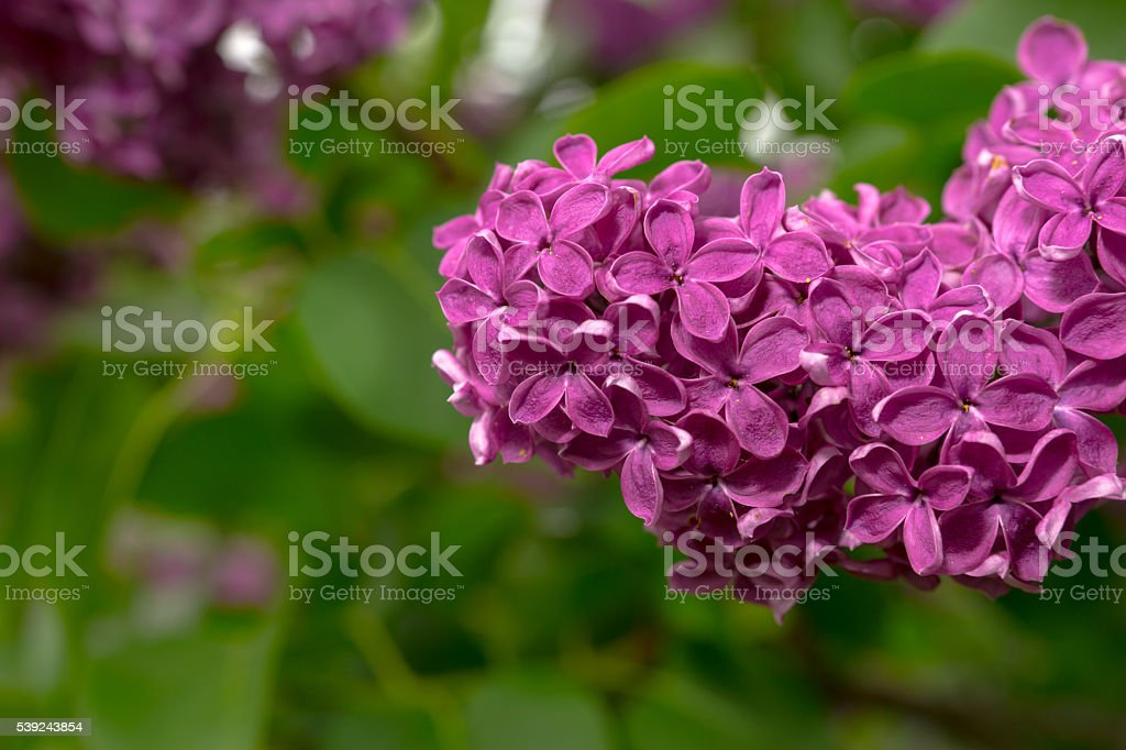 Close up of a purple lilac flowers royalty-free stock photo