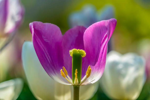 보라색 튤립을 가까이서 볼 수 있으며 생식 기관을 볼 수 있습니다. - 꽃밥 뉴스 사진 이미지
