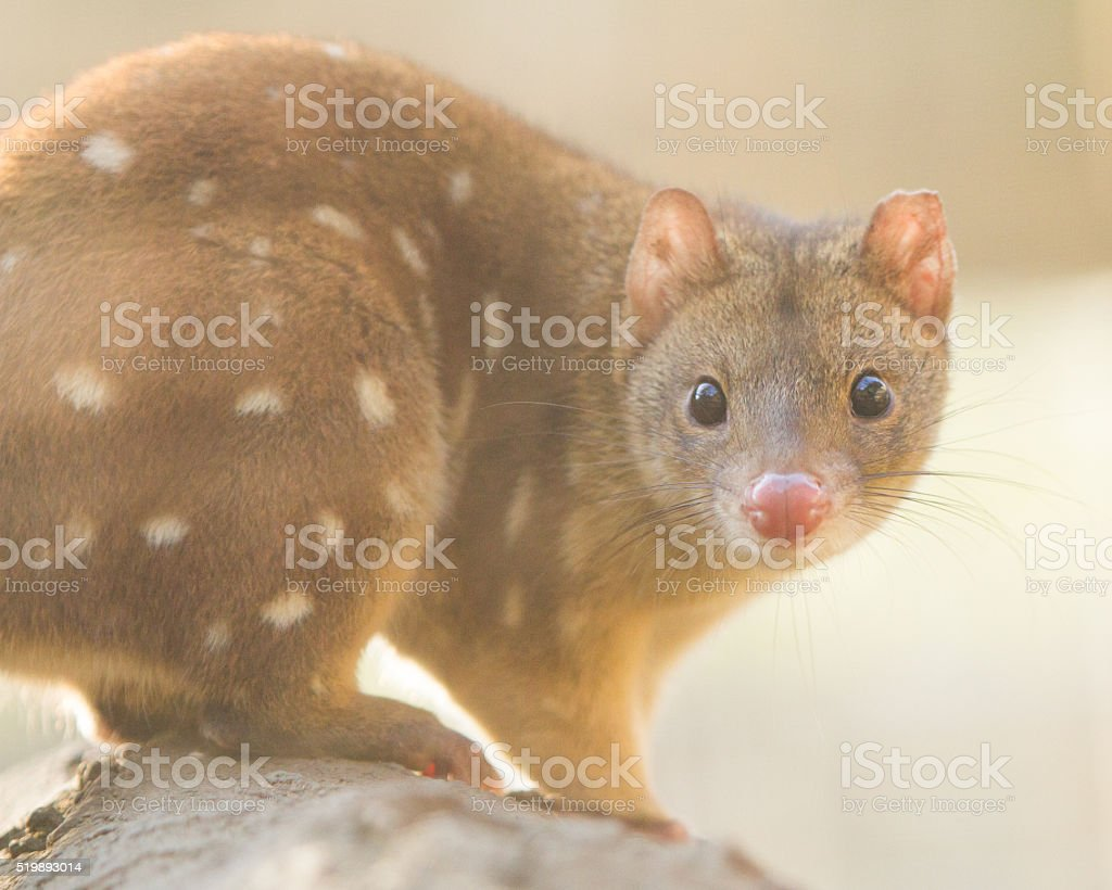 Close up of a Quoll stock photo