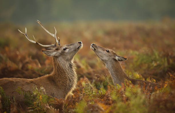 Close up of a Red deer stag with a hind during rutting season Close up of a Red deer stag with a hind during rutting season, autumn in UK. rutting stock pictures, royalty-free photos & images
