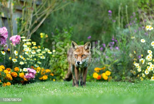 istock Close up of a red fox in an urban garden 1226708704