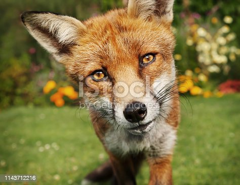 Close up of a red fox in summer, UK.