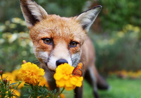 Close up of a Red fox looking at butterfly, UK.