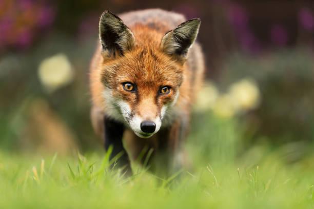 cerca de un zorro rojo - mamífero fotografías e imágenes de stock