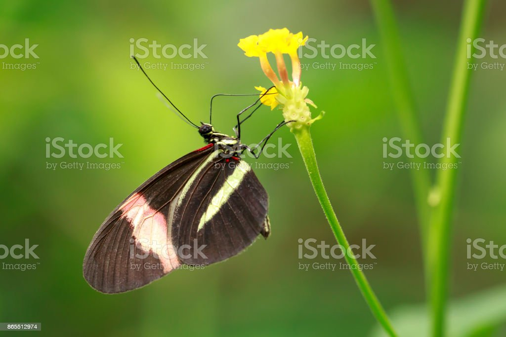 Close up of a red postman tropical butterfly Heliconius erato stock photo
