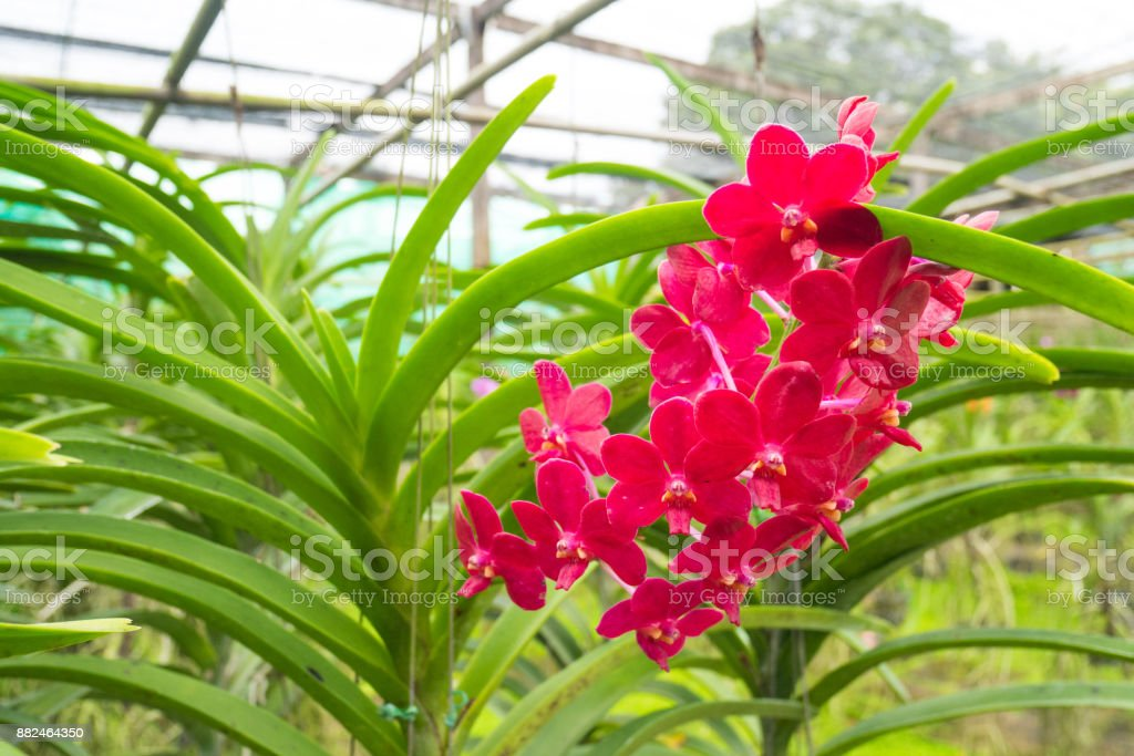 Close up of a Red Scarlet, Ascocenda Meda, orchid flowers stock photo