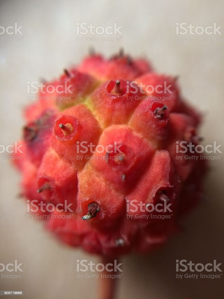 Close up of a red seed stock photo